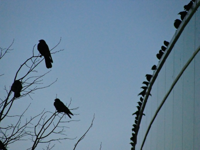 crows_roost2